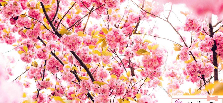 cherry_flowers_4k_5k-HD-cop