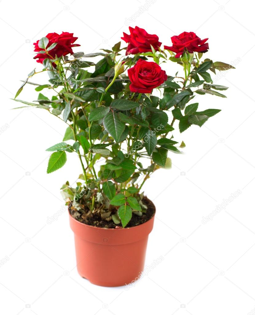 Send online red rose plant to your dear ones giftzbag